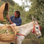 Belvis Harvest