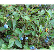 Low Bush Blueberries